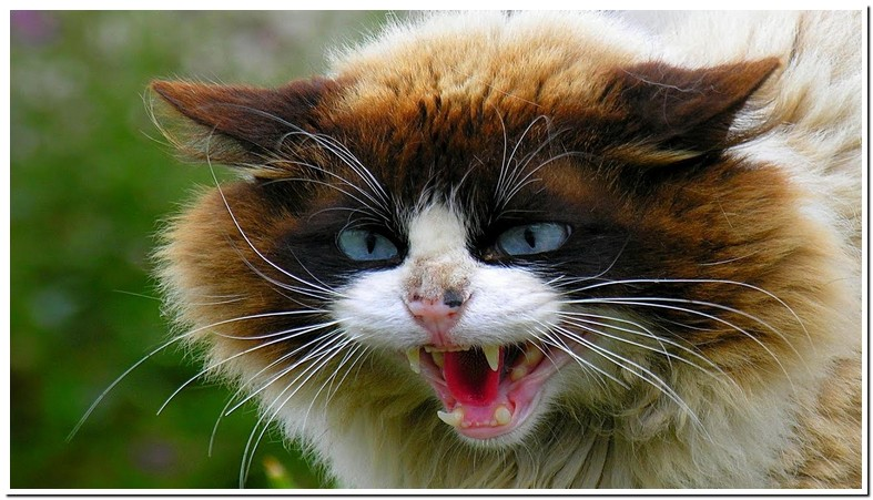 Angry Cat Growling Sound Effect
