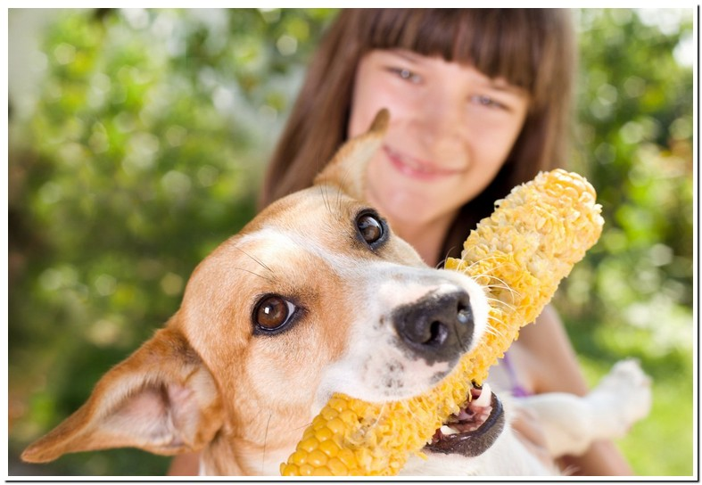 Are Corn Cobs Okay For Dogs