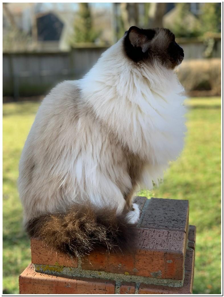 Average Ragdoll Cat Weight