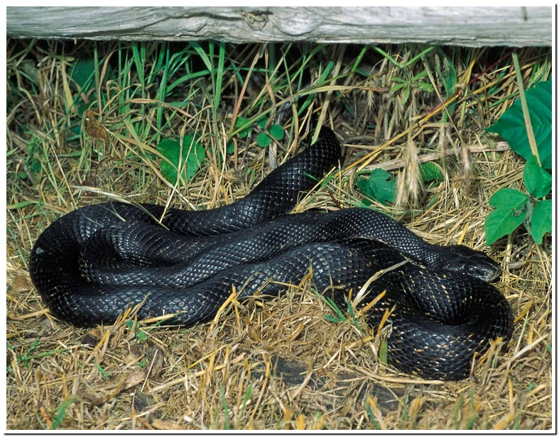 Black Snake With White Dots On Back