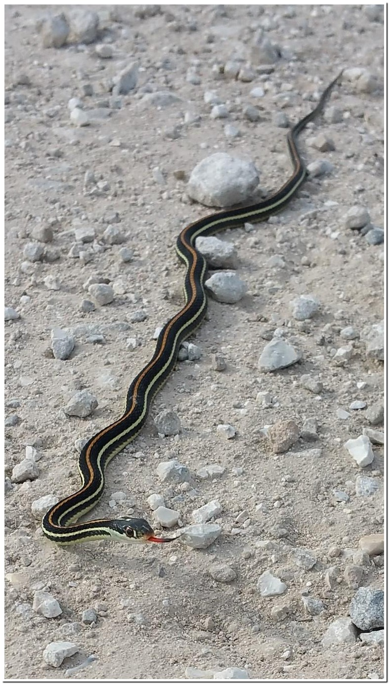 Black Snake With White Markings On Back