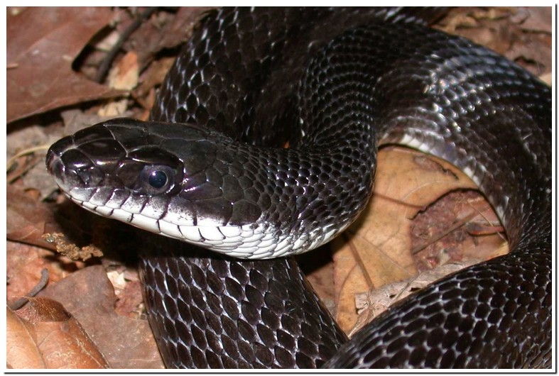 Black Snake With White Spot On Head