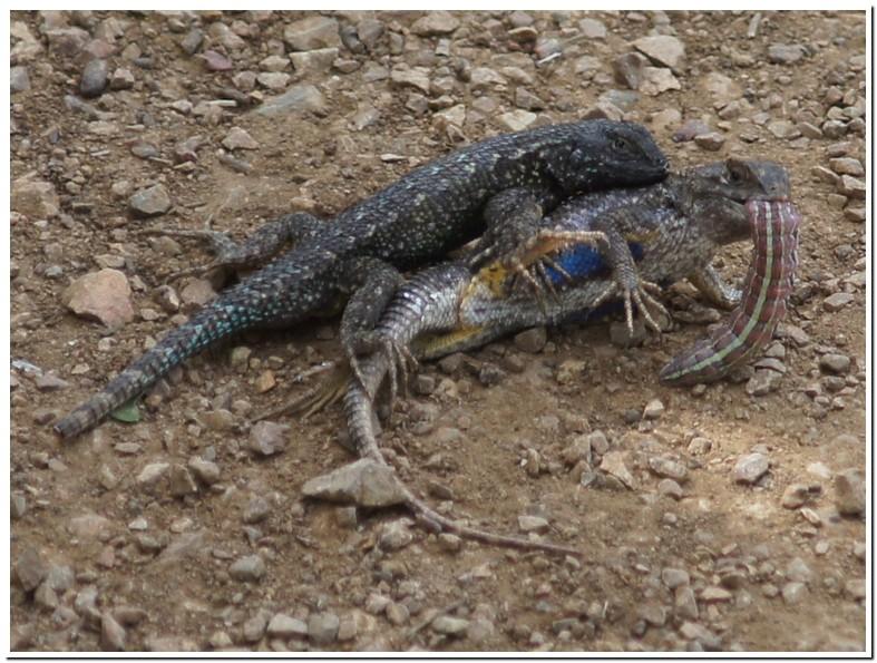 Blue Belly Lizard Eat