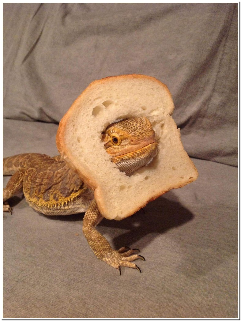 Can Bearded Dragons Eat Bread