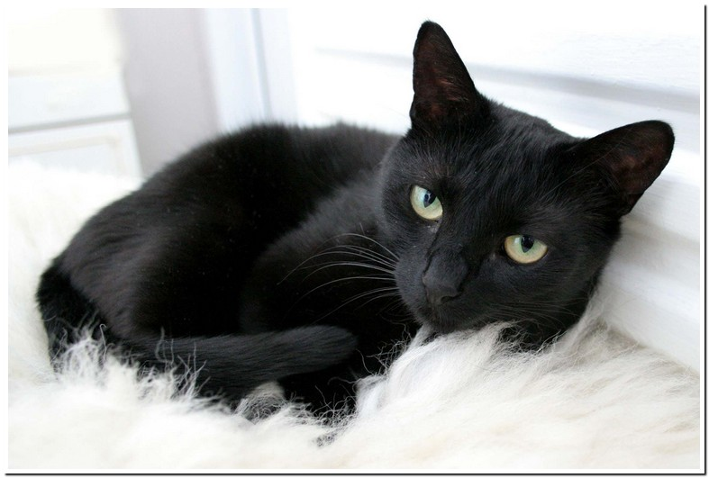 Can Prednisone Cause Constipation In Cats