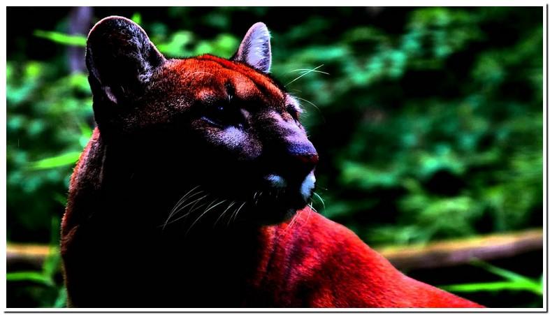 Cat Roar Sound Effect
