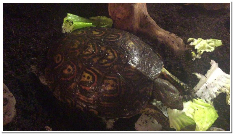 Central American Wood Turtle Care