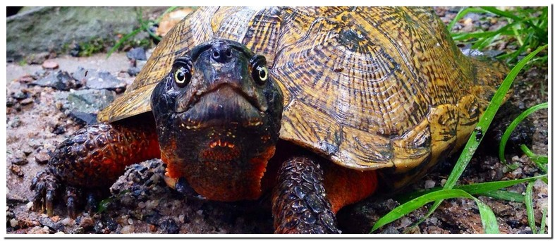 Central American Wood Turtle Size