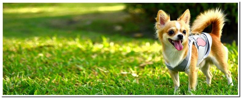 Chihuahua Reverse Sneezing