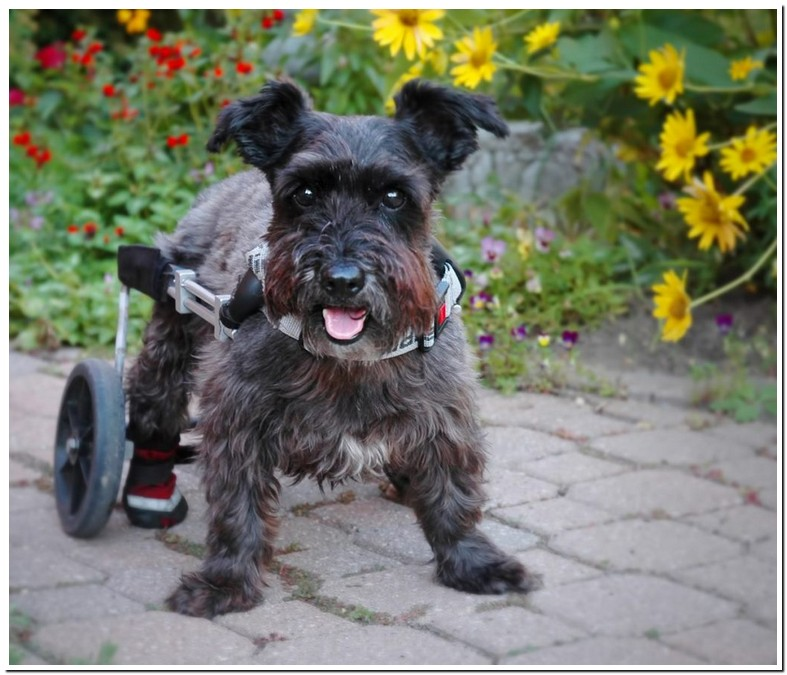 Dog Temporary Paralysis Back Legs