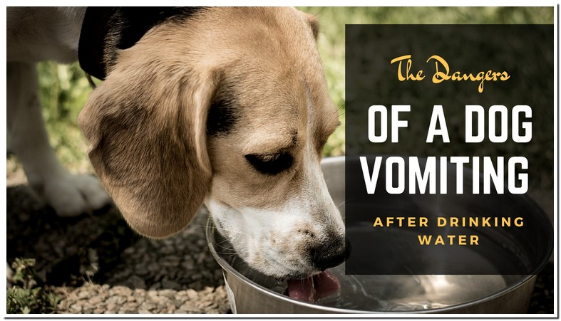 Dog Vomiting Clear Liquid After Drinking Water