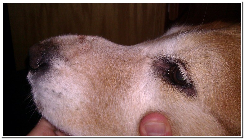 Fire Ant Bites On Dogs Face