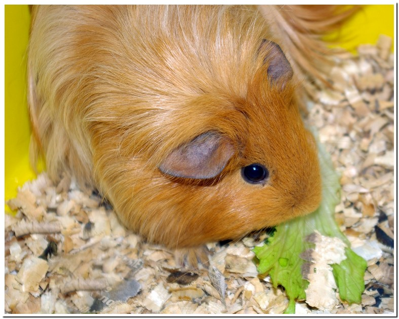Guinea Pig Losing Hair On Nose