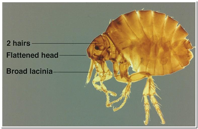 Ivermectin For Fleas On Humans
