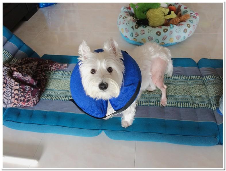 Luxating Patella Dog Surgery Recovery