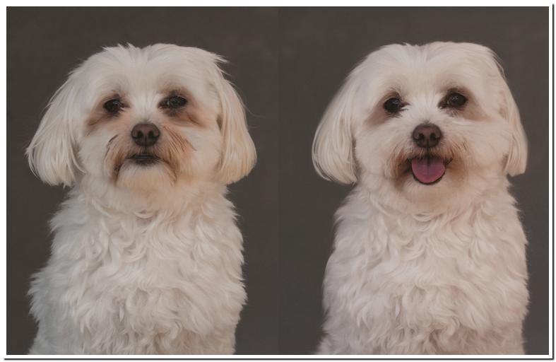 Maltese Dog Eye Stain