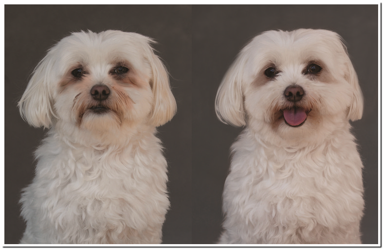 Maltese Poodle Eye Stains
