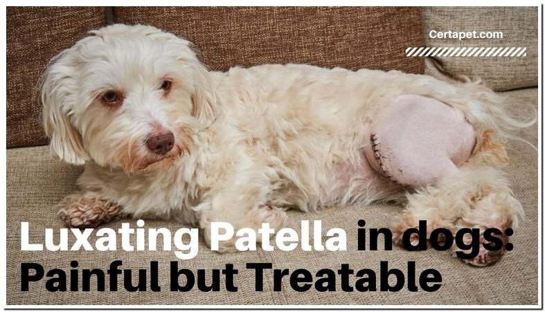 Patellar Luxation Dog Surgery Recovery