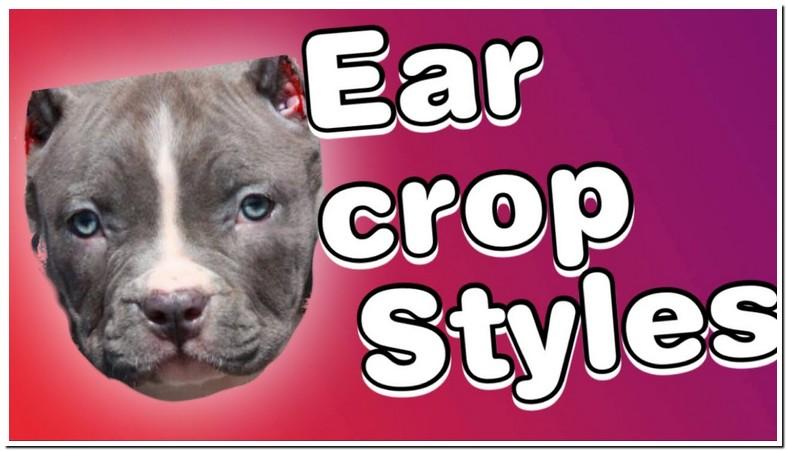 Pitbull Dog Ear Cropping Age