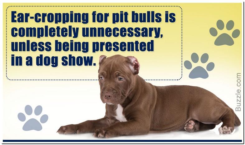 Pitbull Ear Cropping Age