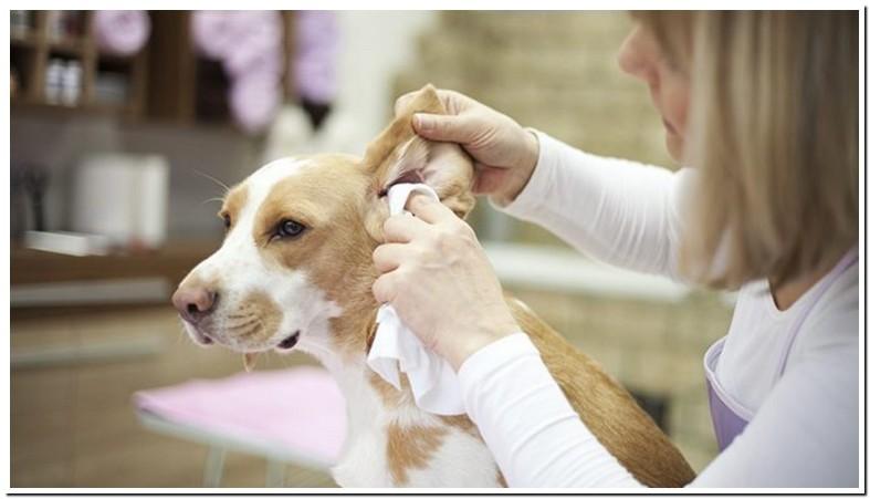 Putting Peroxide In Dog Ears