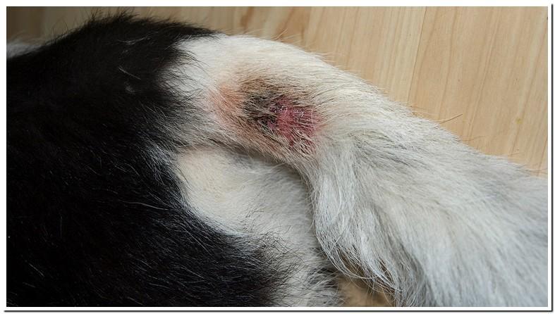 Red Spot On Dog Skin