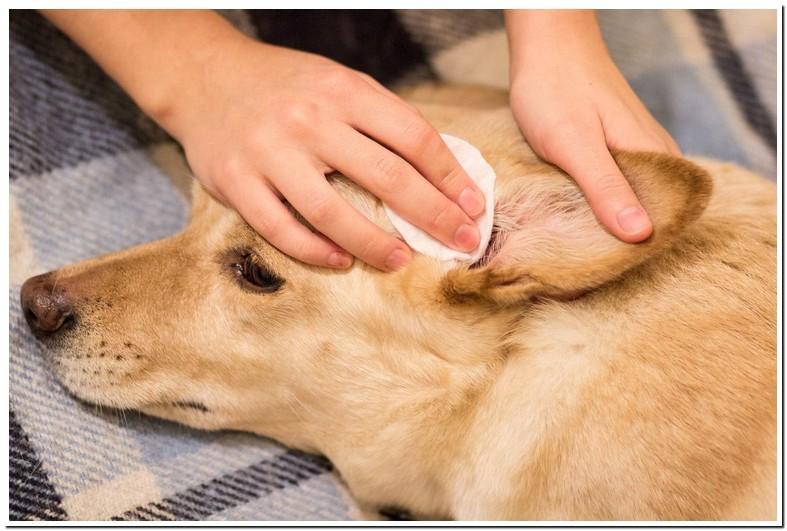 Red Spots In Dogs Ear