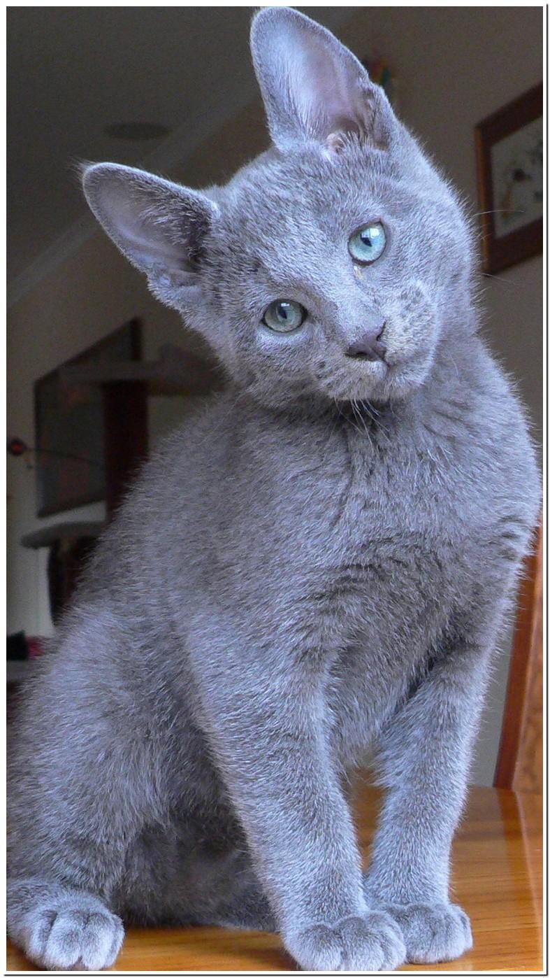 Russian Blue Cat Breeders Melbourne