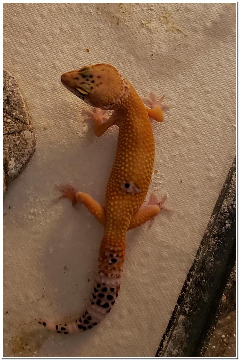 Wax Worms Leopard Gecko Gain Weight