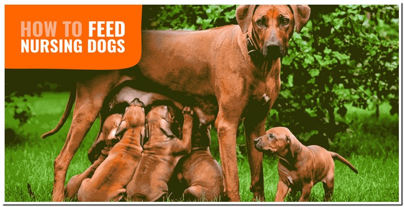 What To Feed A Female Nursing Dog
