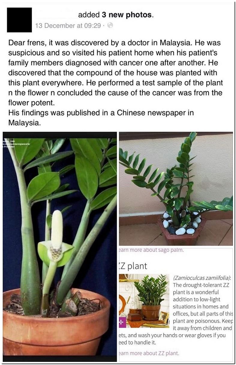 Zz Plant Poisonous Cancer