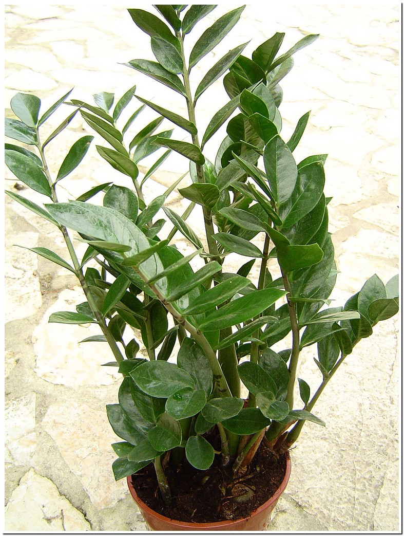 Zz Plant Poisonous To Dogs